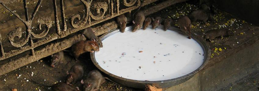Karni Mata, el Templo de las ratas de Bikaner